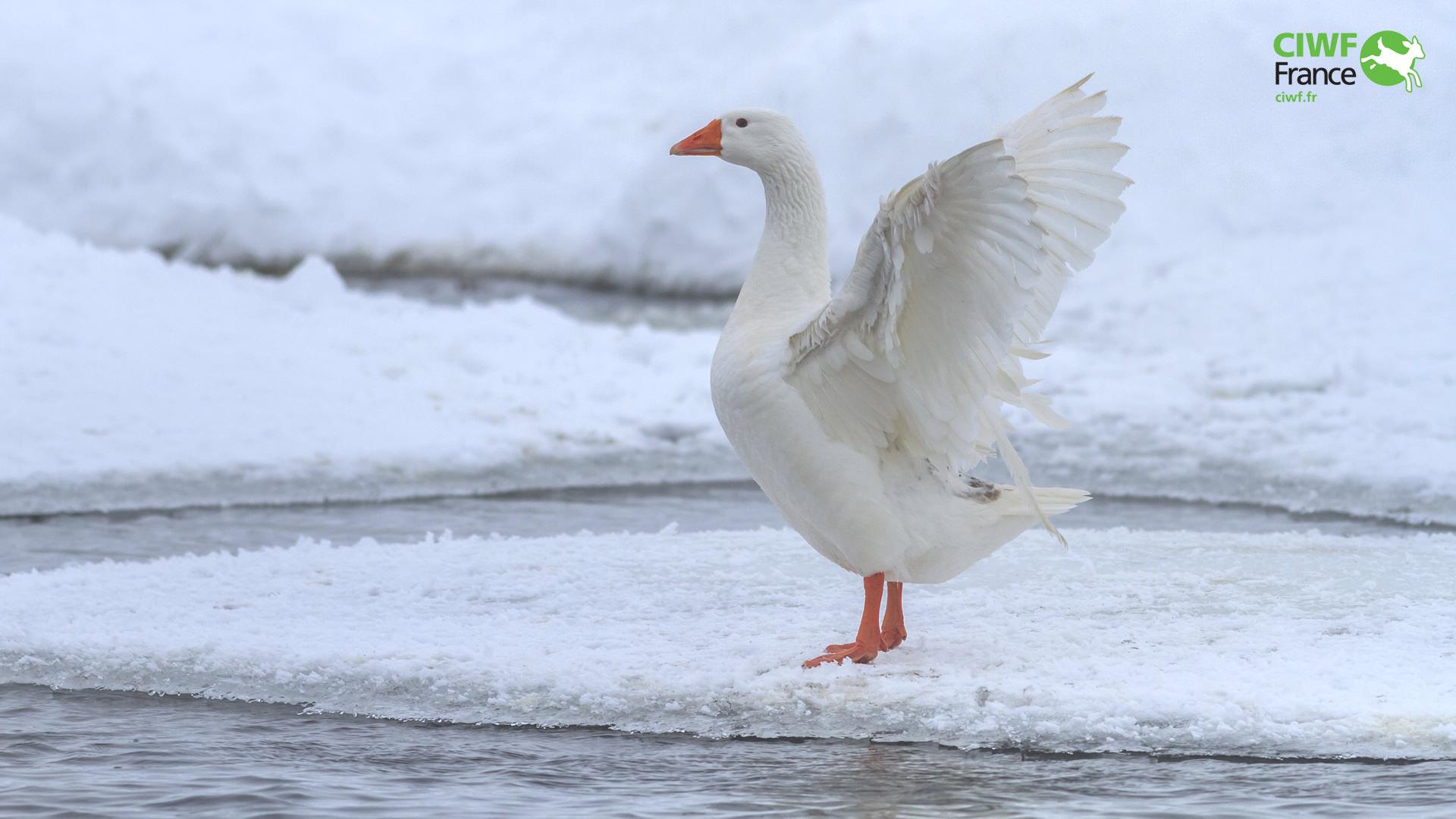 Oie en hiver ciwf france for Fond ecran hiver animaux
