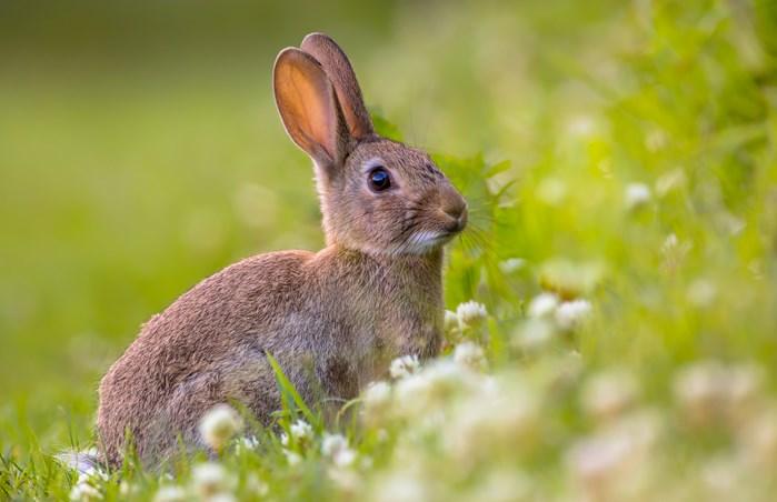 Succès monumental pour les lapins en Europe